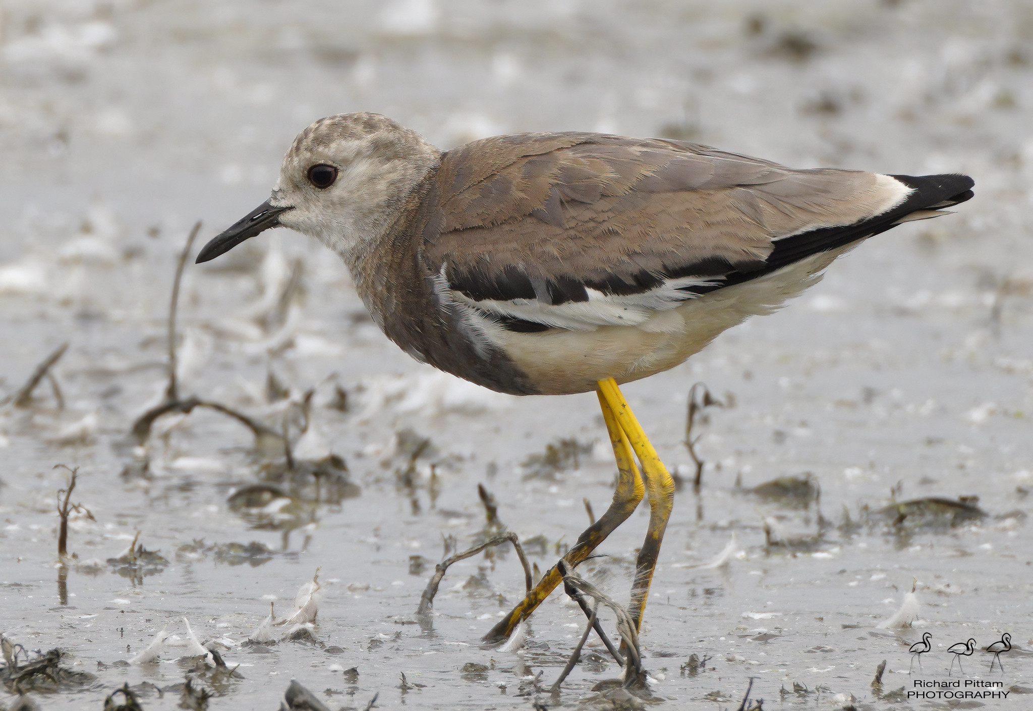 White-winged Plover