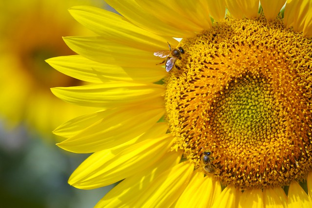 Sunflower with bees 🌻🐝🐝