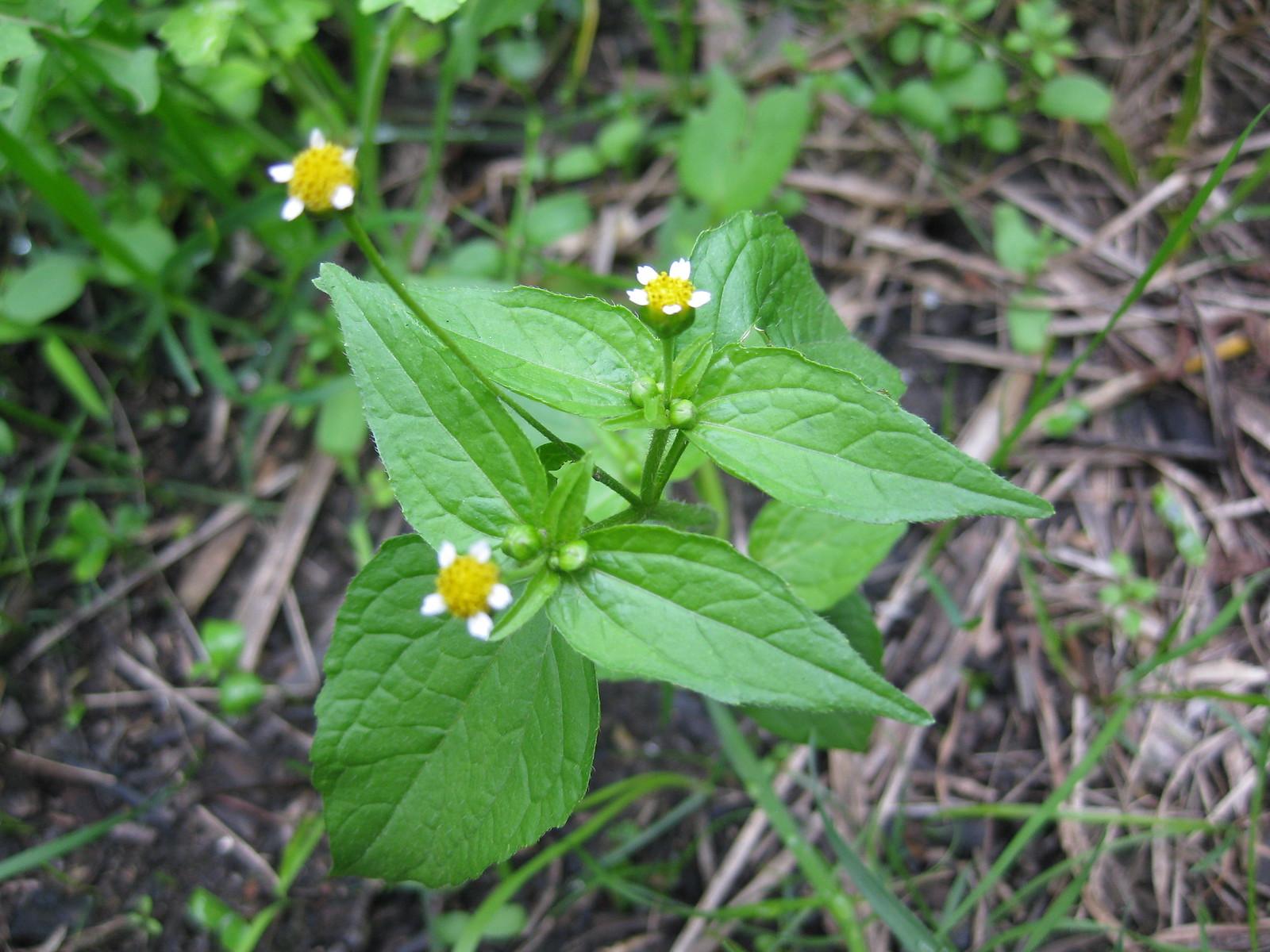 gallant soldier (Galinsoga parviflora)