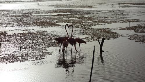 Amanecer con flamingos, Sisal Yucatan