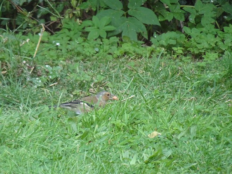 Female Chaffinch with a peanut