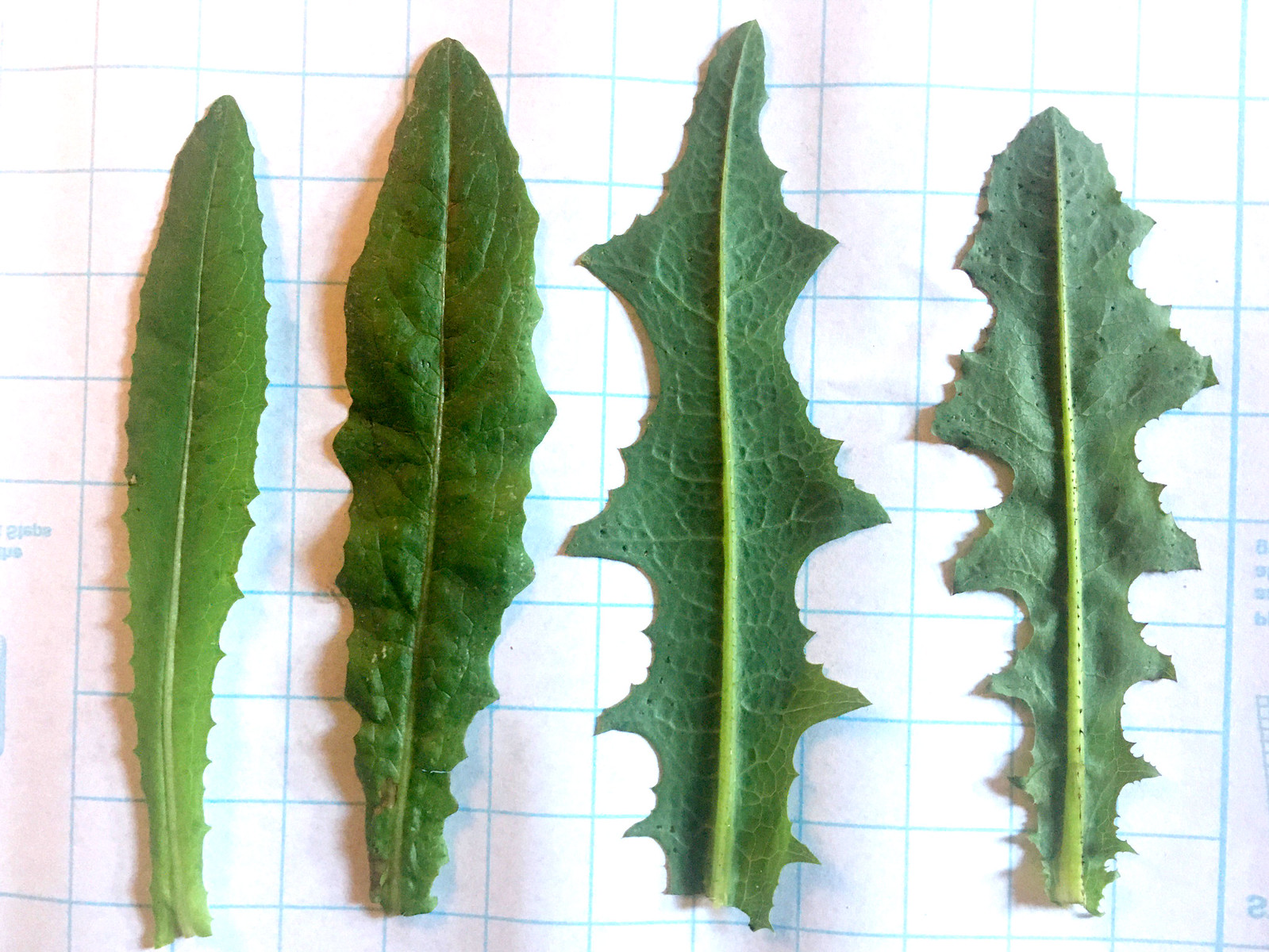 wild lettuce leaves (young, left, to older, right)