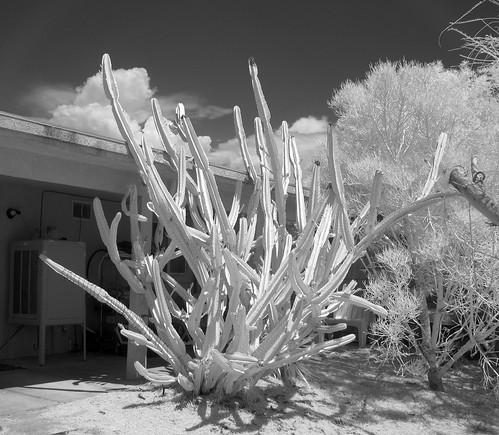 Cereus Peruvianus (0889)