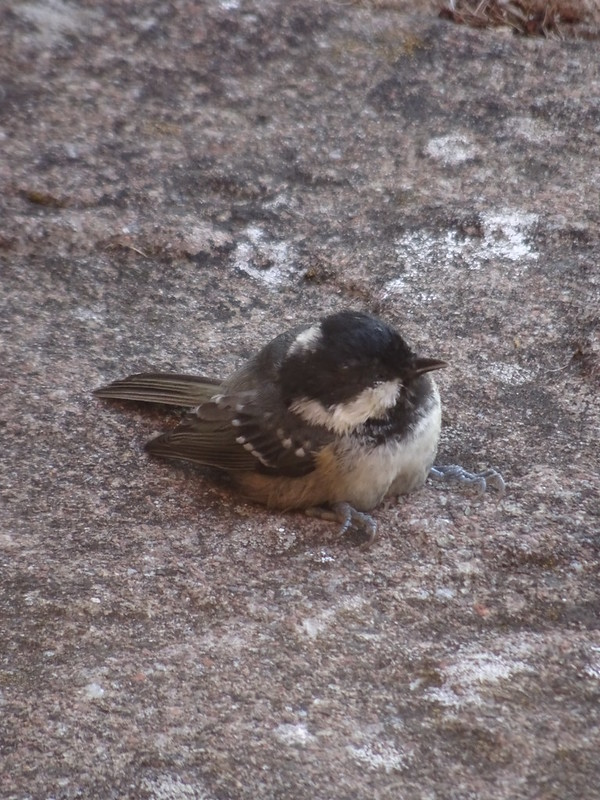 Coal tit, recovering from a close encounter with a conservatory window