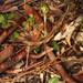 Trim greenhood orchid (Pterostylis concinna)