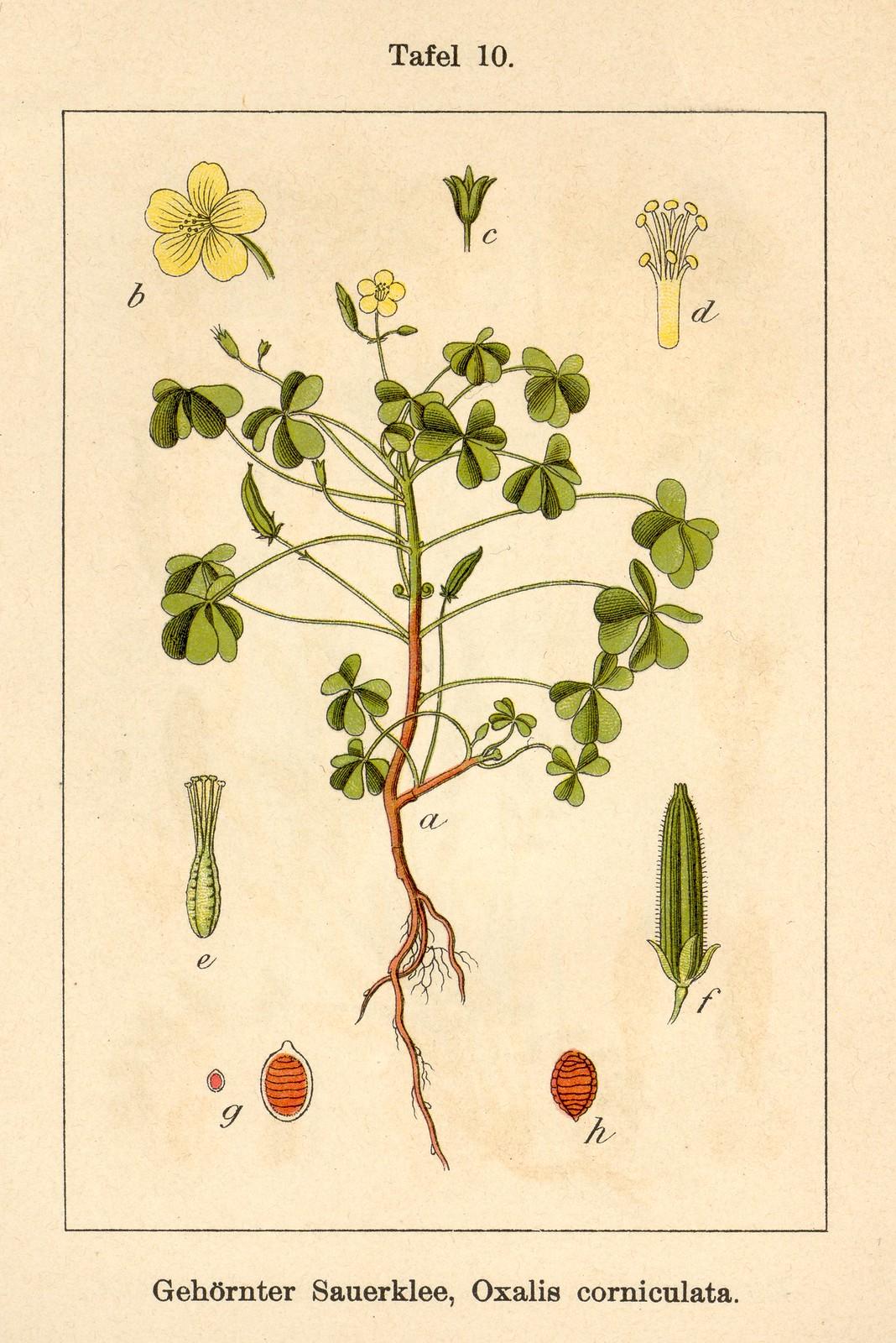 Wood sorrel (Oxalis corniculata)