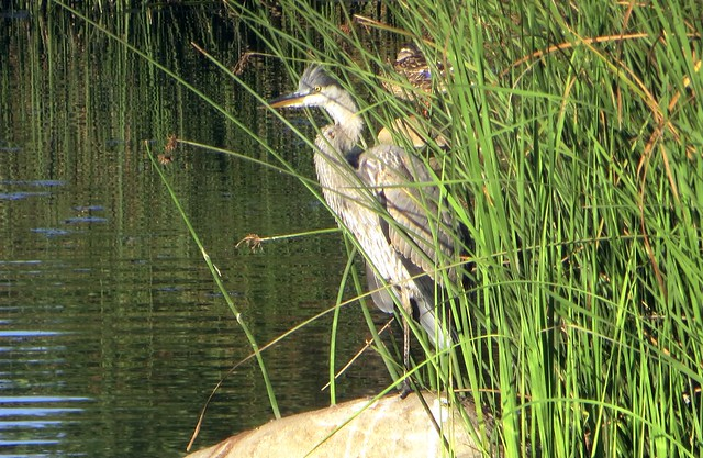 a hidden heron at the pond