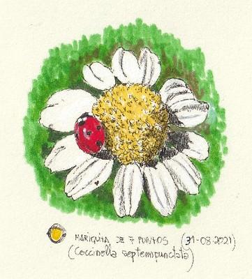 Mariquita de siete puntos (Coccinella septempunctata)