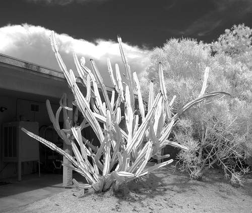 Cereus Peruvianus (0936)