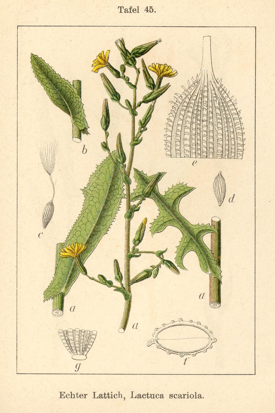 wild lettuce (Lactuca serriola)