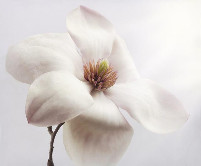 Close Up Magnolia Flower