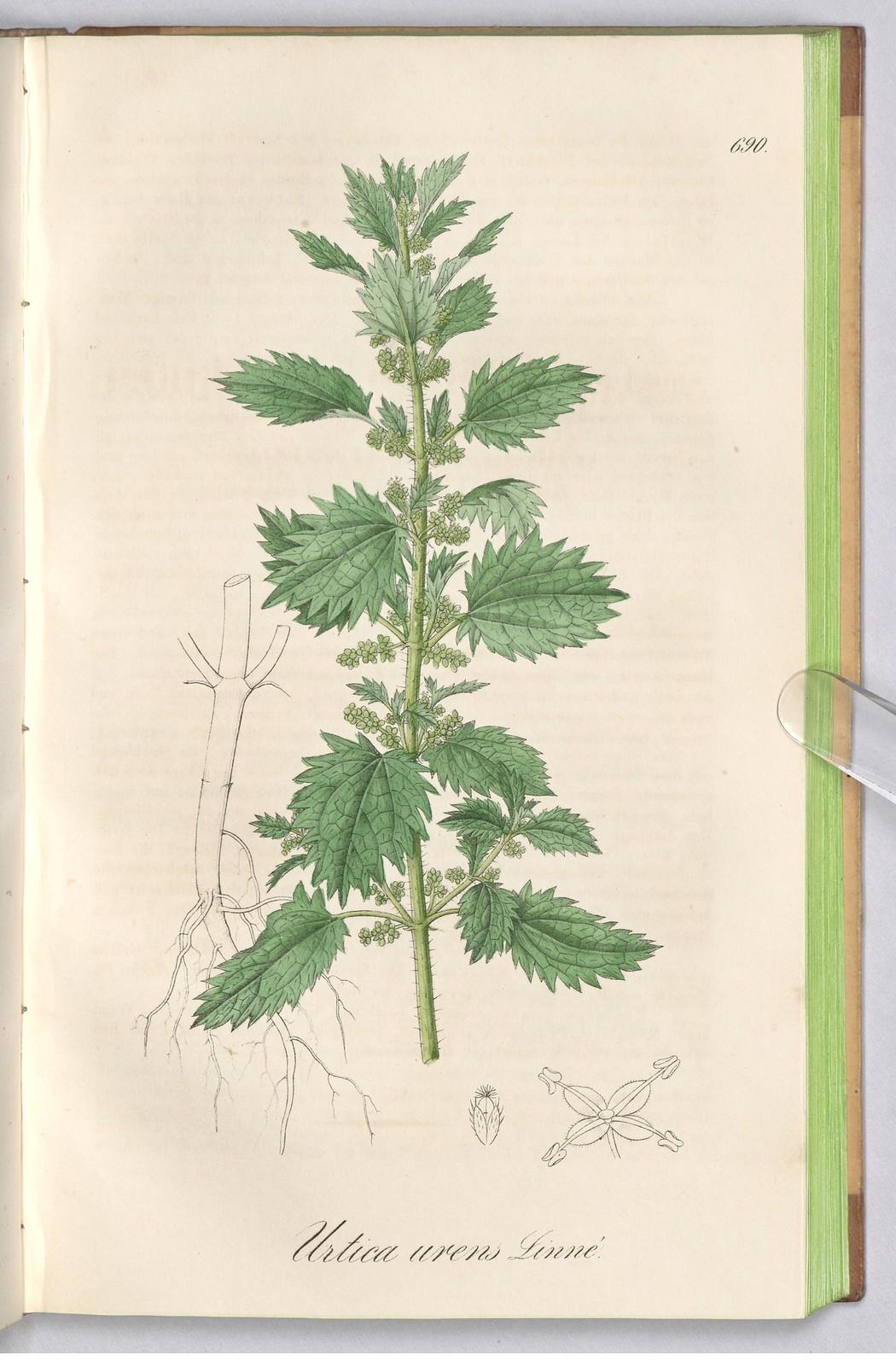 nettle (Urtica urens)