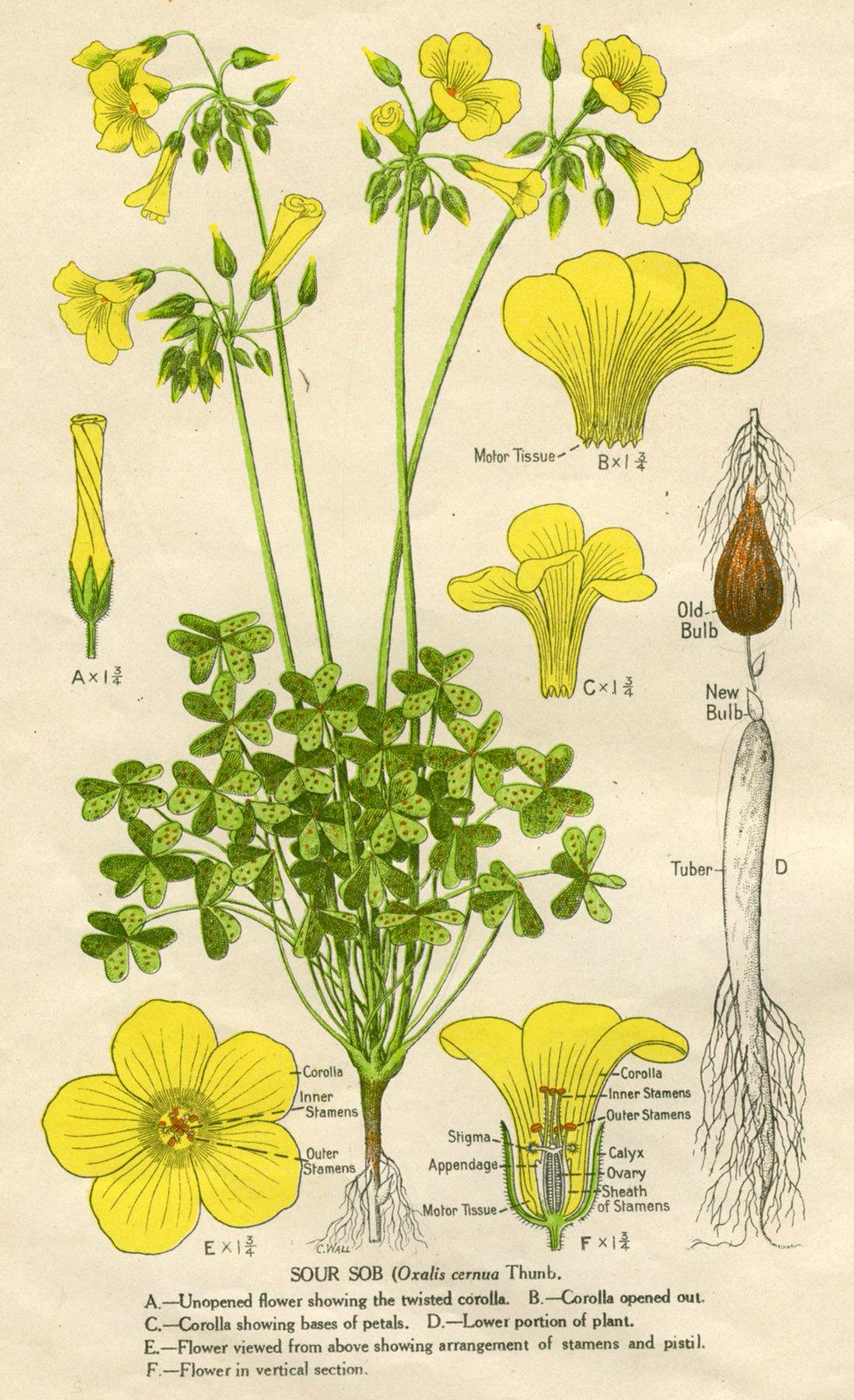 soursob (Oxalis pes-caprae)