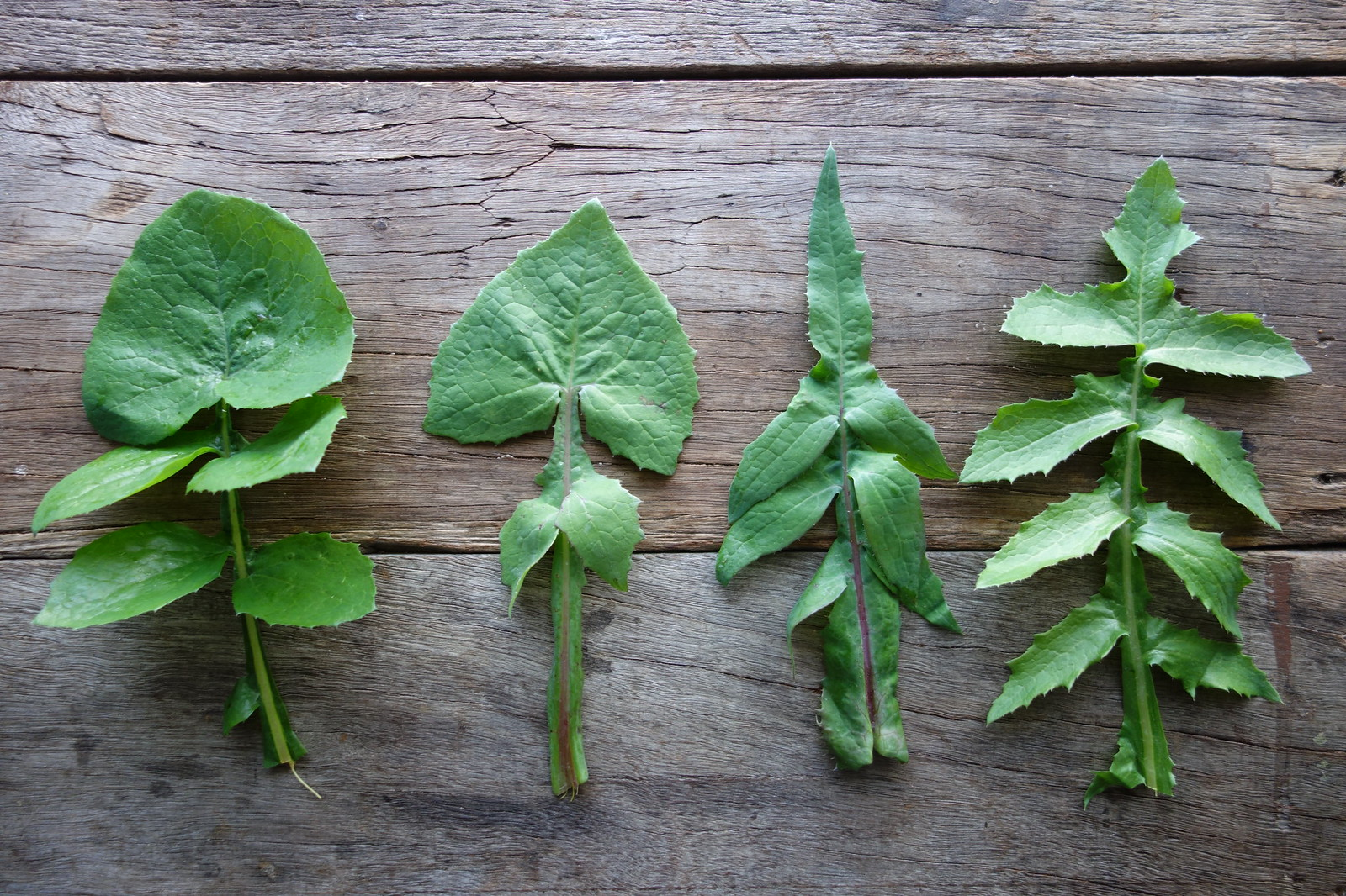 sow thistle leaves (younger, left, to older, right)