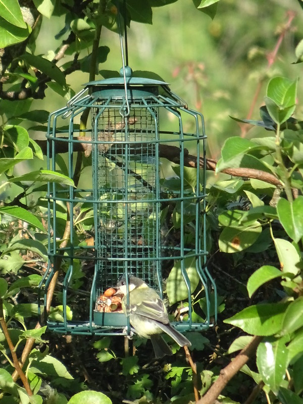 Great Tit Gets A Nut