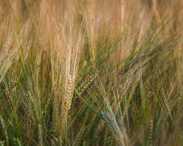 barley sheaf  | Muthill | Perthshire