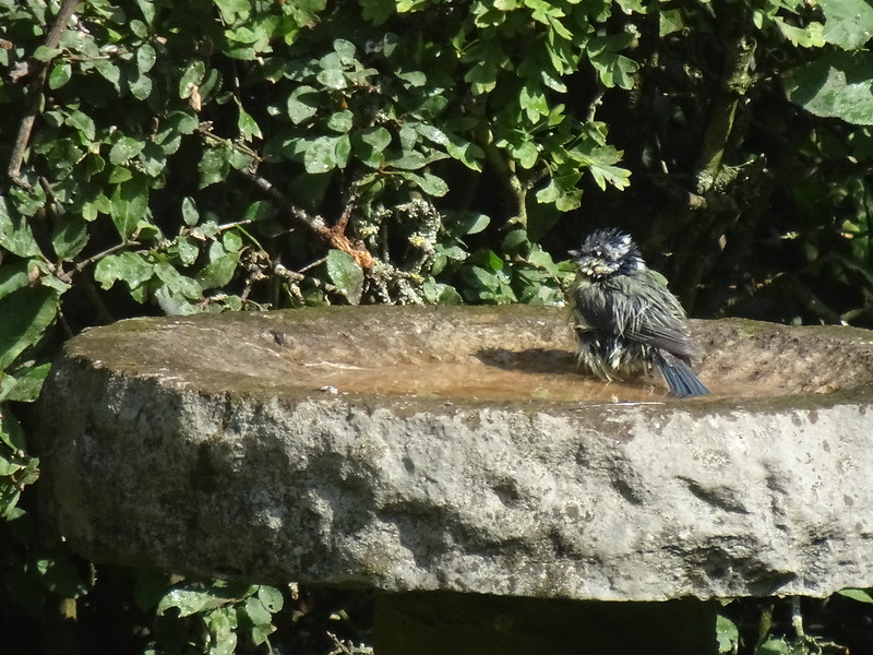 Bedraggled blue tit after taking a bath