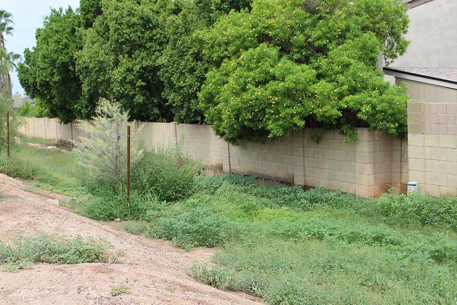 Aftermath of a rain in Arizona (weeds)