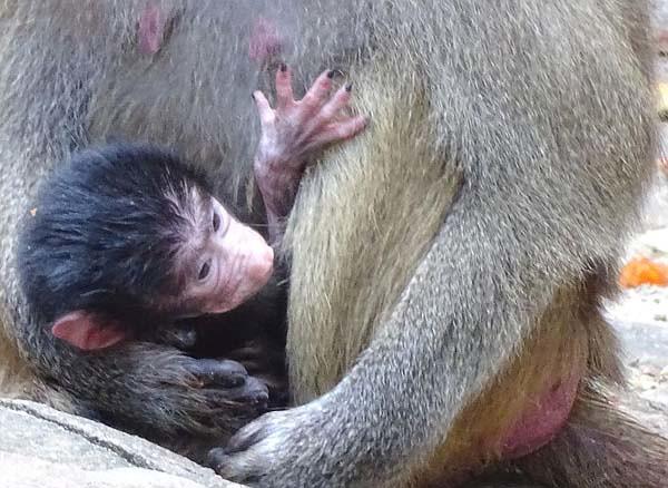 Mantelpavian-Nachwuchs-Zoo-Berlin-Aktuelles-Freunde-Hauptstadtzoos-4-Zoo 24.08.21