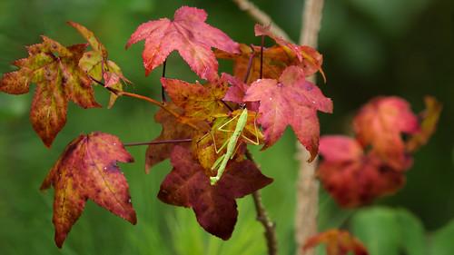 Mantis praying for autumn