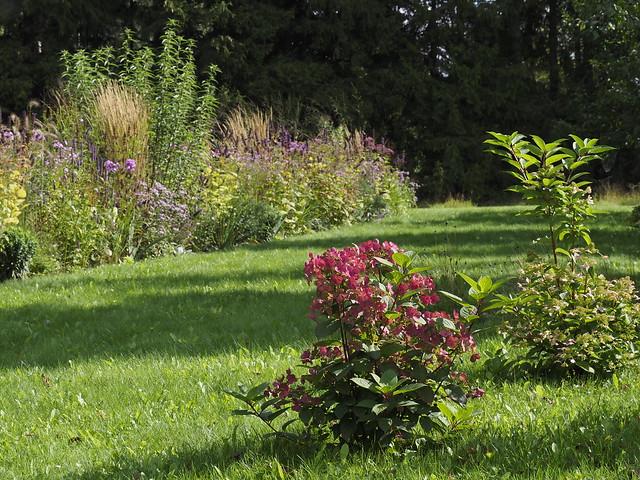 Hydrangea paniculata 'Early Sensation'