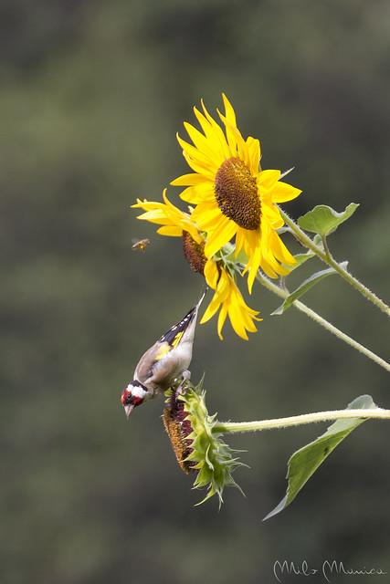 Il cardellino, l'ape e il girasole