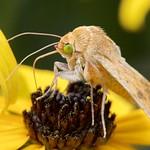 Feeding Straw Moth
