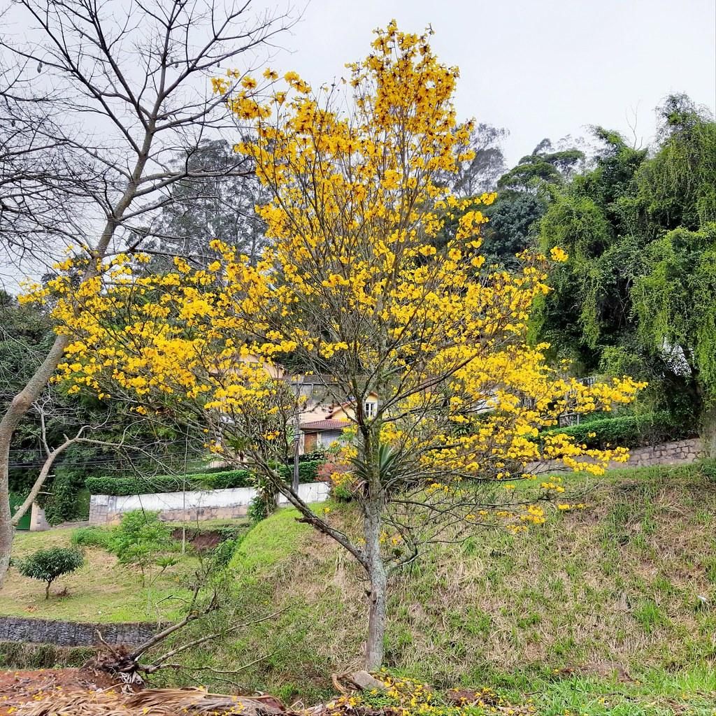 Yellow ipe (Handroanthus albus)