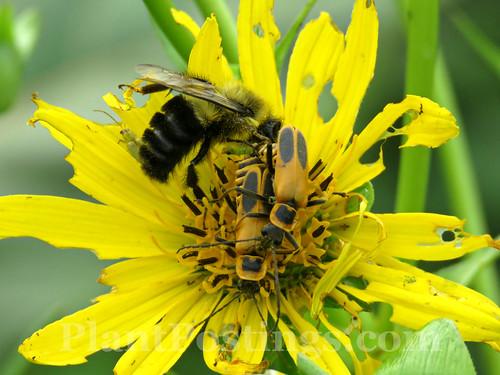Pollinators on Cup Plant