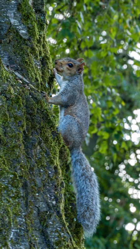Searching a hole, squirrel, Bantock Park