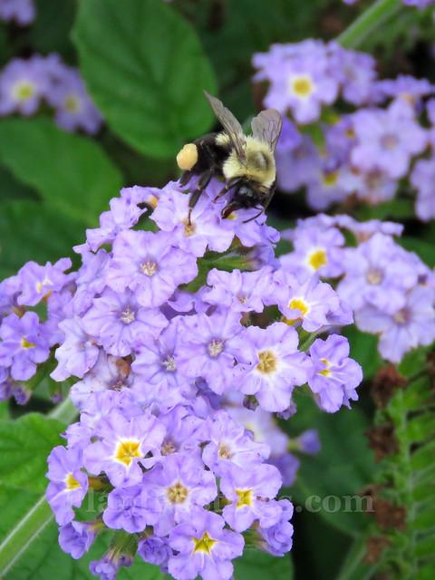 Heliotropium Augusta 'Lavender'