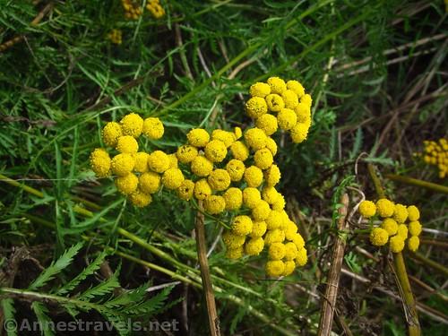 Common Tansy near Black Creek, New York
