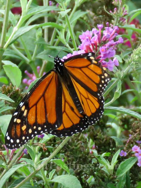 Buddleia Monarch