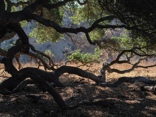 Lateral oak