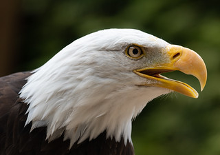Bald Eagle-4721