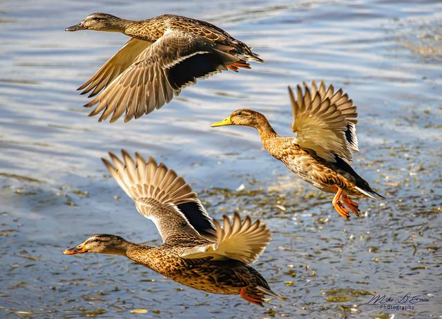 Ducks In Flight Symmetry