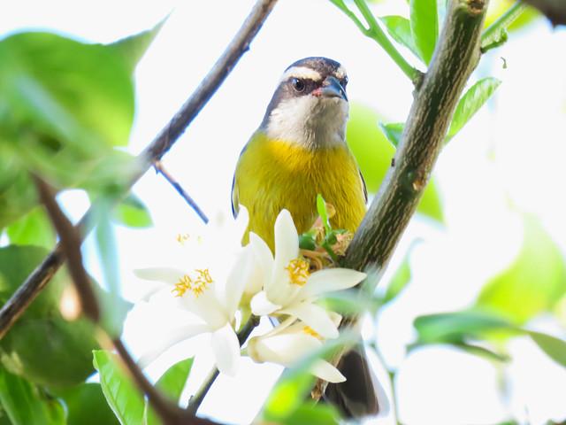 Cambacica/Bananaquit