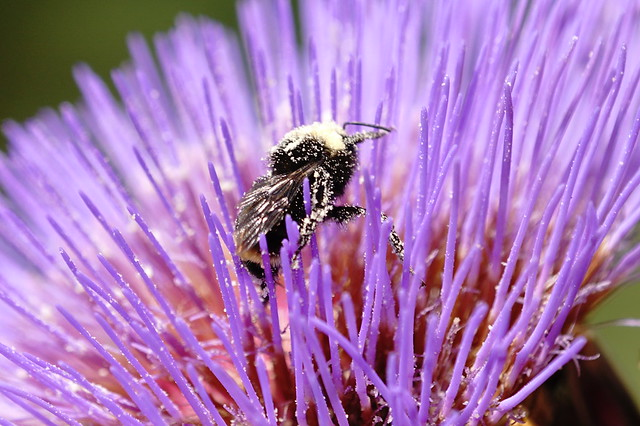 Over pollinated bee.