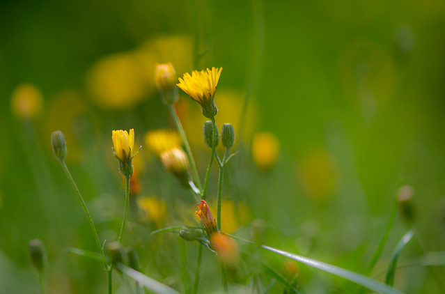 Little yellow Colorspots in the grass