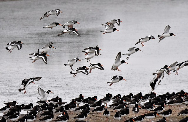 Over one thousand Oyster Catchers arriving at Freiston Shore RSPB nature reserve near Lincolnshire.