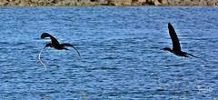L'anguilla contesa - The disputed eel