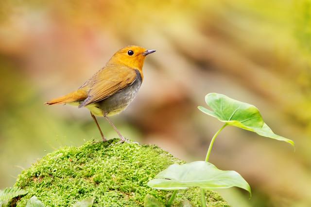 Japanese Robin standing on moss | 站立在苔蘚上的小橘子