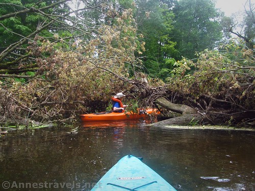 A fresh log jam.  We could duck under the branch and continue downstream - easy!  Black Creek, Rochester, New York