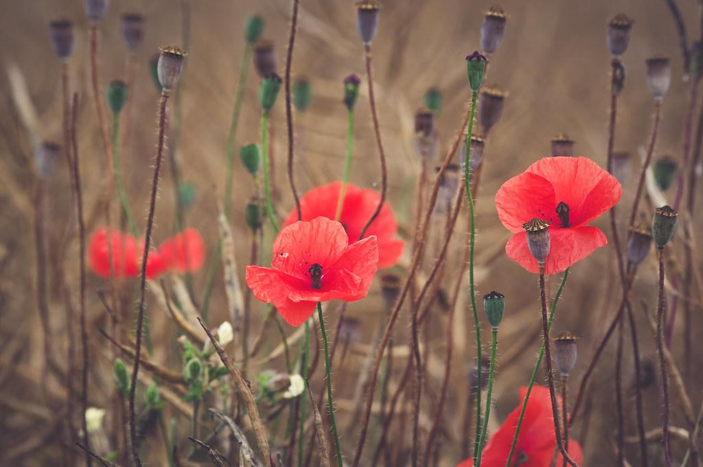 poppies - dark edition
