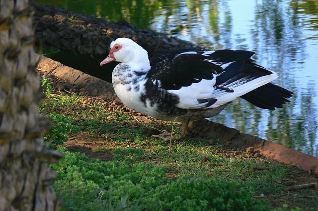 Muskrat Duck