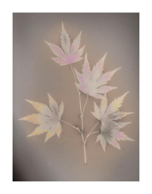 lumen print - Japanese Maple