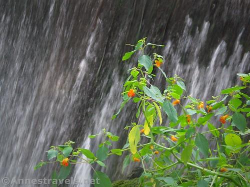 Orange Jewelweed near the Churchville Dam, New York