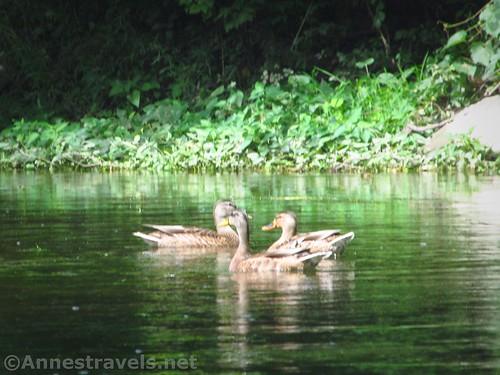Mallard ducks on Black Creek, Rochester, New York