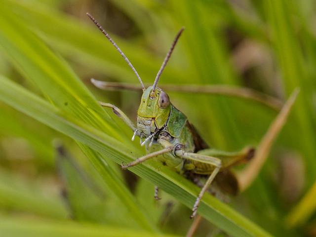 grasshopper (Explored)