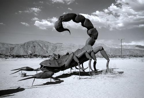 Scorpion at Galleta Meadows (1)